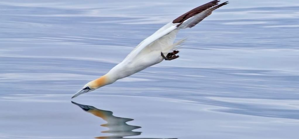 Nigel the NZ gannet